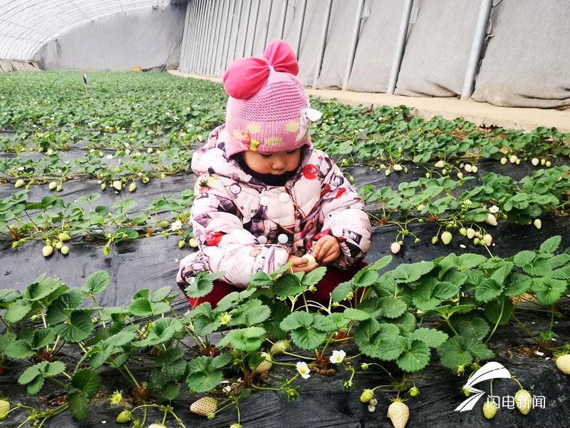 快来尝鲜!新泰翟镇光伏大棚里的白色草莓成熟了