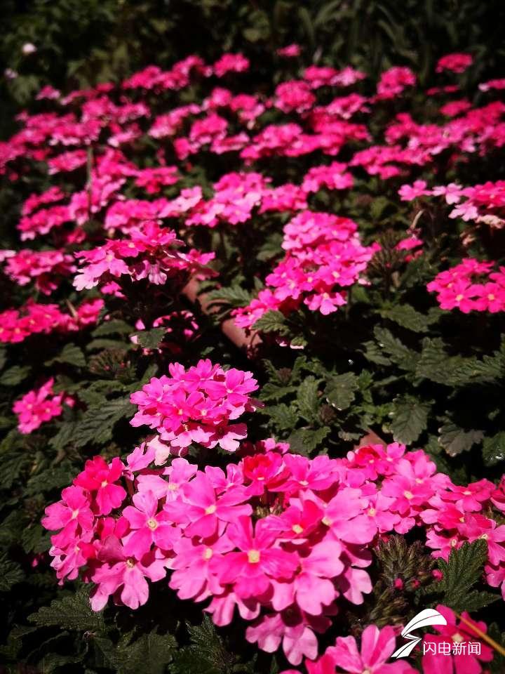 绣球花、金雀花……一起去看看齐鲁园里的花