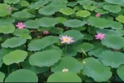 共和国发展成就巡礼•山东篇丨章丘白云湖:藕花深处 景美民富
