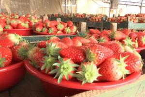 """疫情之下一颗草莓是这样""""炼""""成的 潍坊安丘防控生产两不误"""