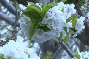 青州樱桃大棚里春色满园 怒放的樱桃花开满枝头