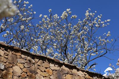樱花迎春绽放 看小院里88岁老人的幸福生活