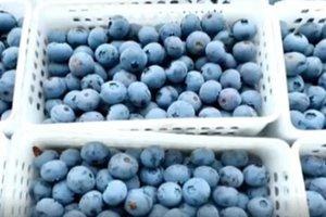 """危中求机 青岛西海岸新区小蓝莓成了""""网红""""大产业"""