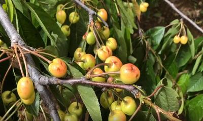1.5万亩樱桃遭雹灾 泰安下港镇果农急寻帮助