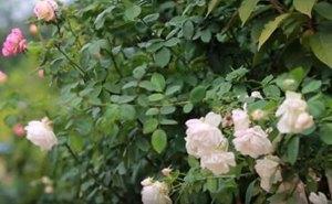 花团锦簇、草青水澈!泰安岱岳区大桥村村民幸福感满满