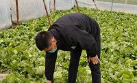10多吨生菜滞销 济南市济阳区小贺铺村农户急需爱心帮助