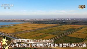 丛丛带你看盐碱地长出万亩水稻