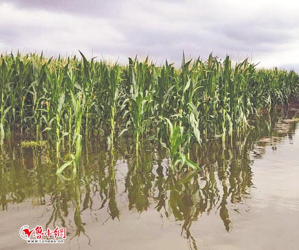 大雨过后 马踏湖风景区湖水淹了岸边农作物