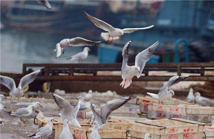 """冬日海岸生机一片!青岛渔港变身海鸥""""餐厅""""(图)"""