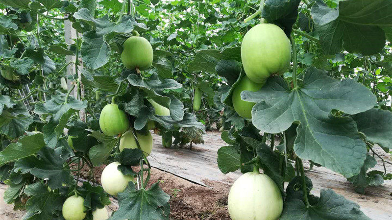 直播:皮薄肉甜的瓜果上市 无棣80后镇长推介本地农产品