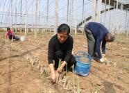 一根根鲜芦笋撑开致富门!潍坊退休职工成立农业合作社,带动周边村民增收