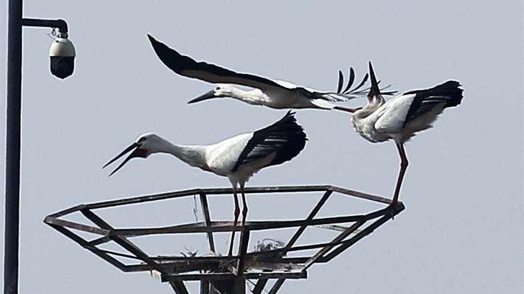 慢直播:黄河三角洲东方白鹳雏鸟破壳而出