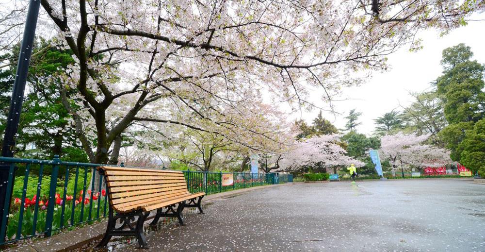 中山公园游人雨后赏樱花 樱花飘洒更有情