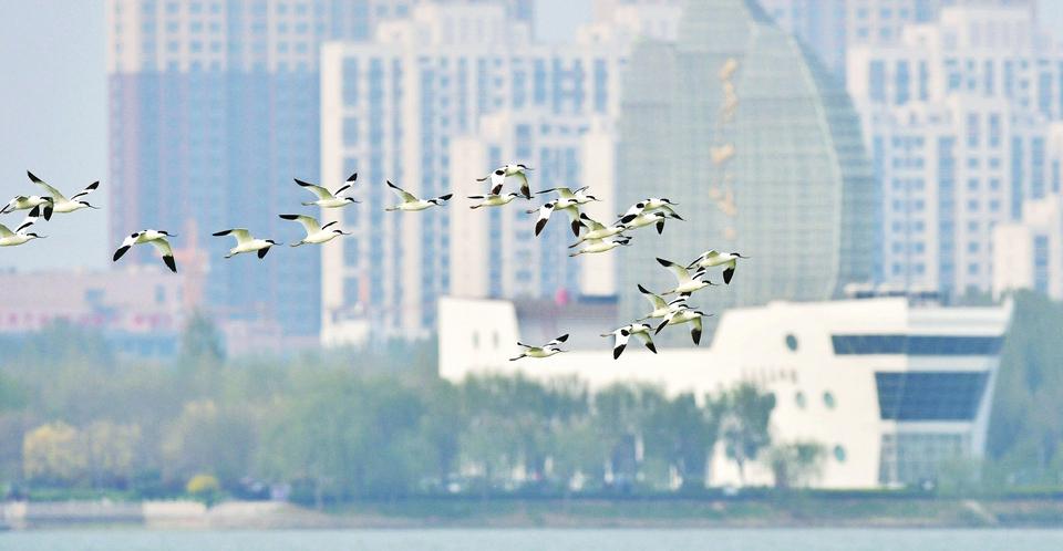 高唐县双海湖出现近百只反嘴鹬和黑翅长脚鹬