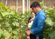 葡萄提前45天上市,西瓜每亩收入四五万 潍坊滨海区特色种植产业旺
