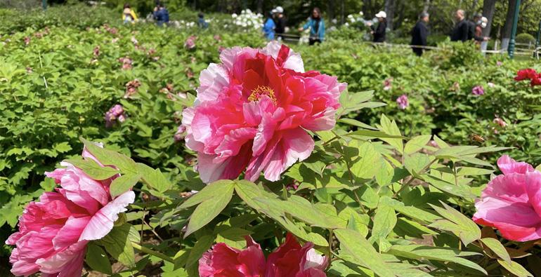潍坊植物园牡丹花开正艳,趁花期速来赏!