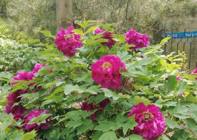 春风拂面花草香 青岛市国学公园牡丹花开繁似锦