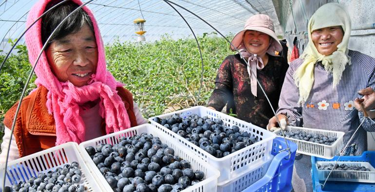 青岛:10万亩蓝莓进入采摘期