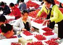 """樱桃为什么这样""""红""""?—解码""""中国大棚樱桃第一县""""潍坊临朐乡村振兴之路"""