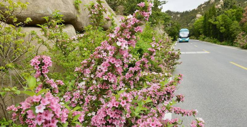 崂山巨峰:锦带花盛开扮美盘山路