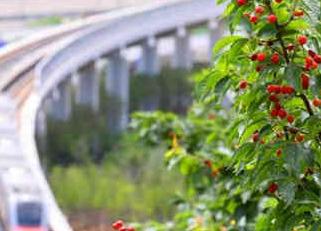 青岛这些地方吃樱桃最过瘾,攻略快收好