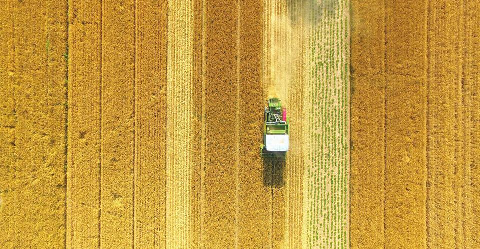 搶收搶曬小麥,確保顆粒歸倉