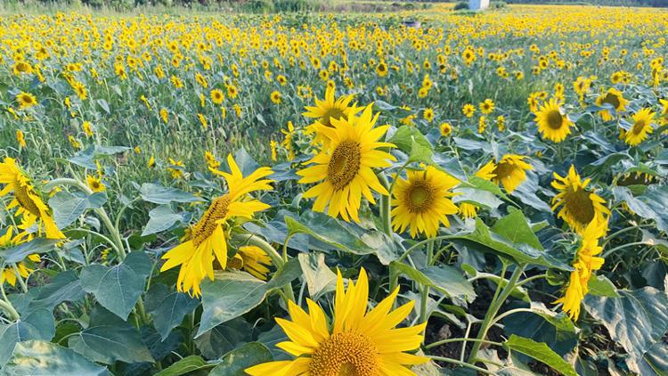 青岛胶州市400亩向日葵花海惊艳盛开