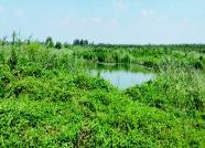 全省罕见野大豆种群现身高密!总面积近千亩,系国家重点保护植物