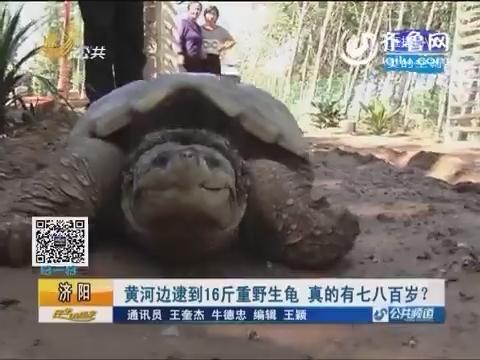 济阳:黄河边逮到16斤重野生龟 真的有七八百岁?