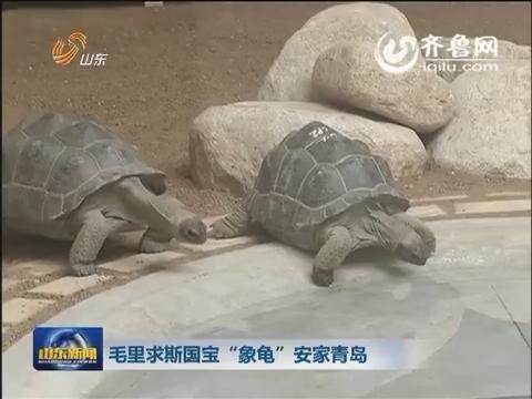 """毛里求斯国宝""""象龟""""安家青岛"""