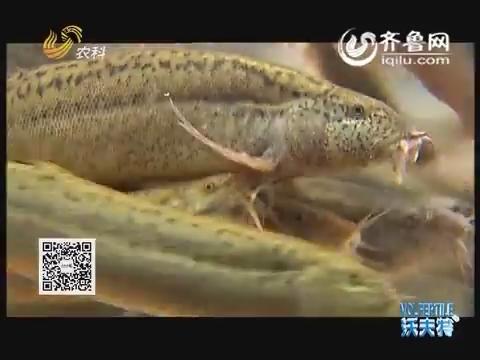 李红刚:妙招不断养泥鳅