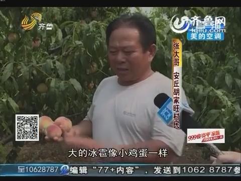 安丘:冰雹过后 成熟桃子被砸落在地