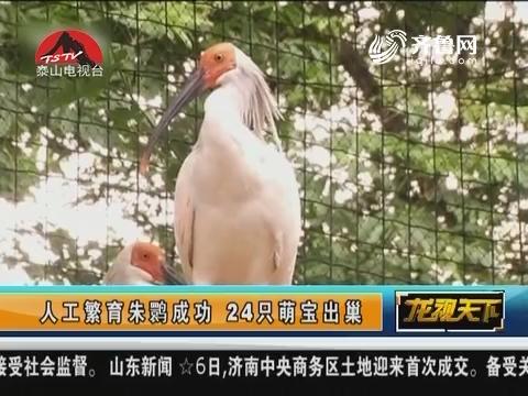 人工繁育朱鹮成功 24只萌宝出巢