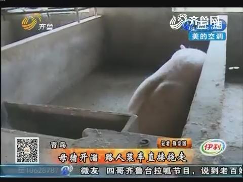 青岛:母猪开溜 路人装车直接拖走