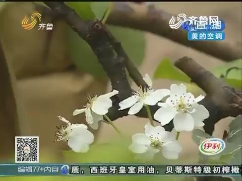 淄博:盛夏时节 梨树开了花