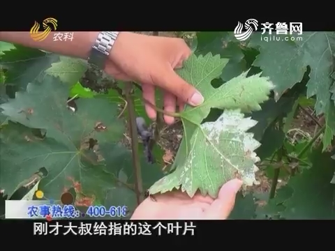 20160720《当前农事》:葡萄霜霉病