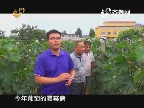 20160721《当前农事》:葡萄霜霉病