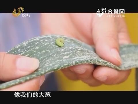 20160723《当前农事》:大葱虫害的防治