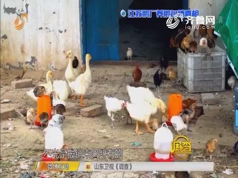 调查:江苏鹅厂养鹅包销真相