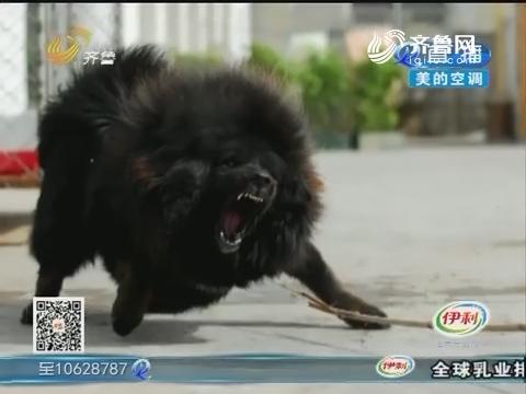 淄博:藏獒出逃 曾数次伤人