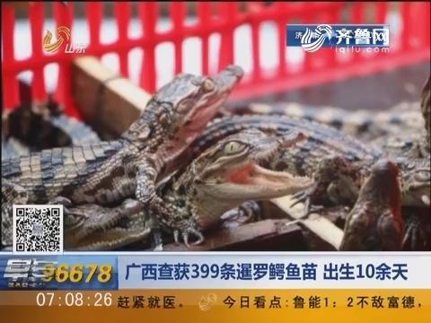 广西查获399条暹罗鳄鱼苗 出生10余天