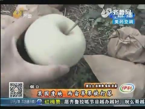 烟台:果园遭殃 两亩苹果被打落