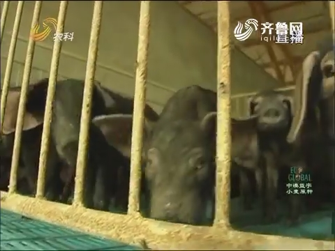 20160824《农科直播间》:枣庄兴起黑盖猪