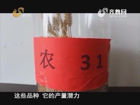 20160825《当前农事》:小麦新品种 山农31号