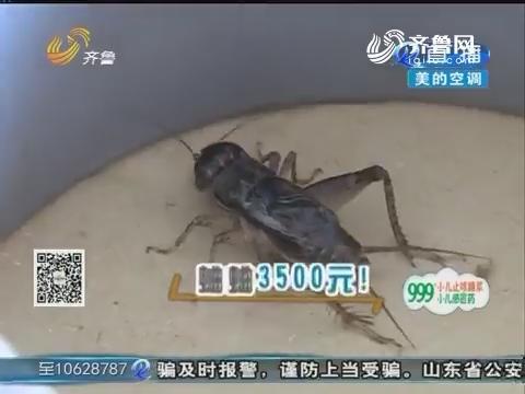 宁津:临近成熟玉米大量倒伏