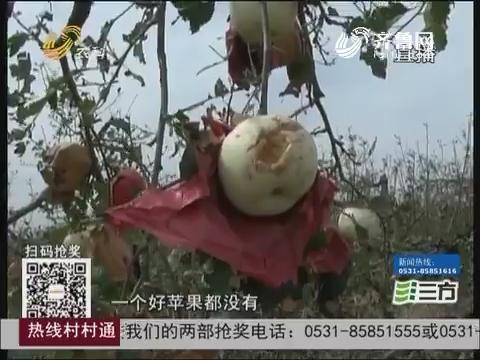 牟平:冰雹突袭苹果遭殃 部分村庄近乎绝收