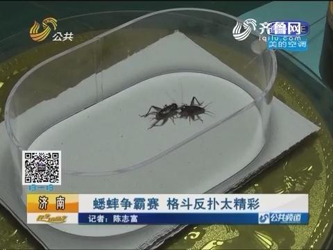 济南:蟋蟀争霸赛 格斗反扑太精彩