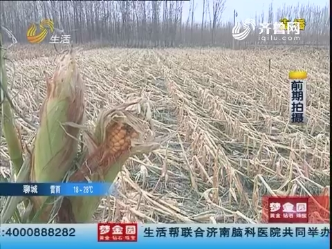 淄博:强冰雹袭击 千亩玉米受损