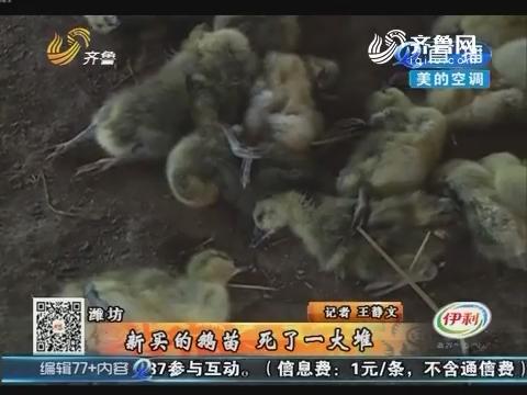 潍坊:新买的鹅苗 死了一大堆