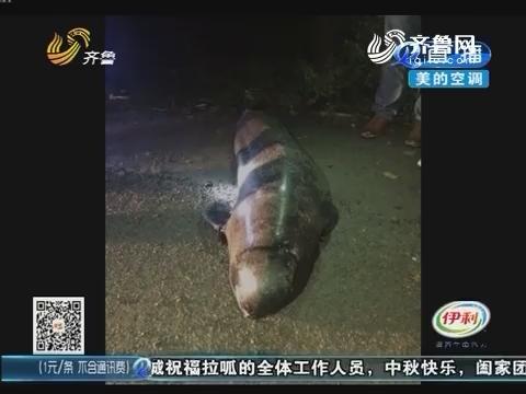 淄博:路上捡条鱼 身长两米多